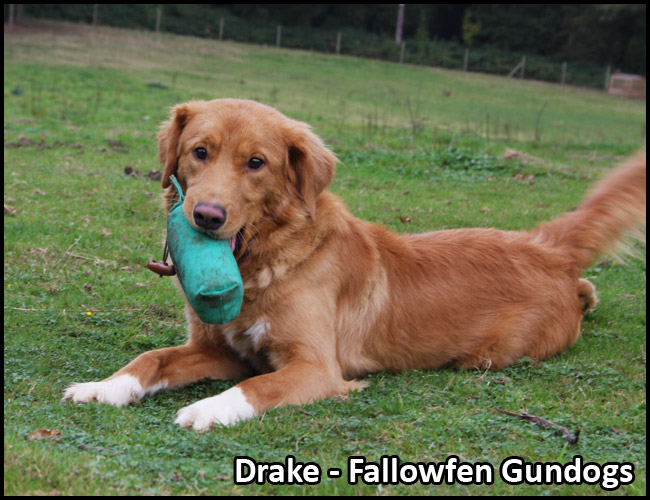 Drake Fallowfen Stud Dog a