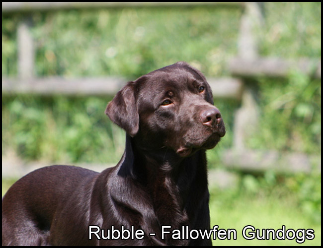 Ruble Fallowfen Chocolate Labrador Stud F