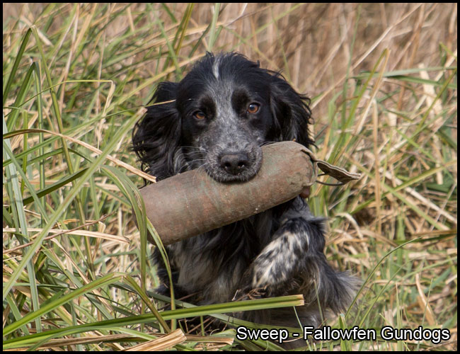 Sweep Fallowfen Stud Dog Working Cocker Spaniel