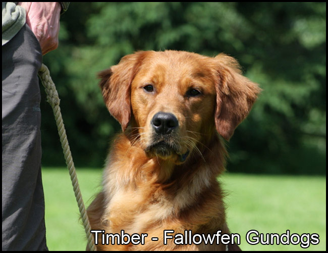 Timber Fallowfen Golden Retriever Stud L
